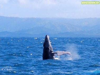 Salto de una ballena jorobada