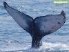 Cola de una ballena jorobada